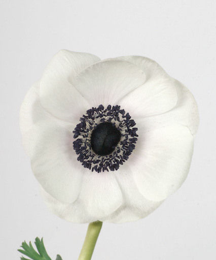 Anemone Carmel White with Black Center