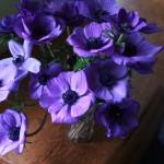 Anemone Galilée Blue