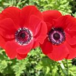 Anemone Galilée Red