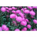 Aster Bonita Pink