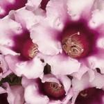 gloxinia avanti light violet/dark throat