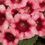 gloxinia avanti peach rose