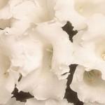 gloxinia avanti white