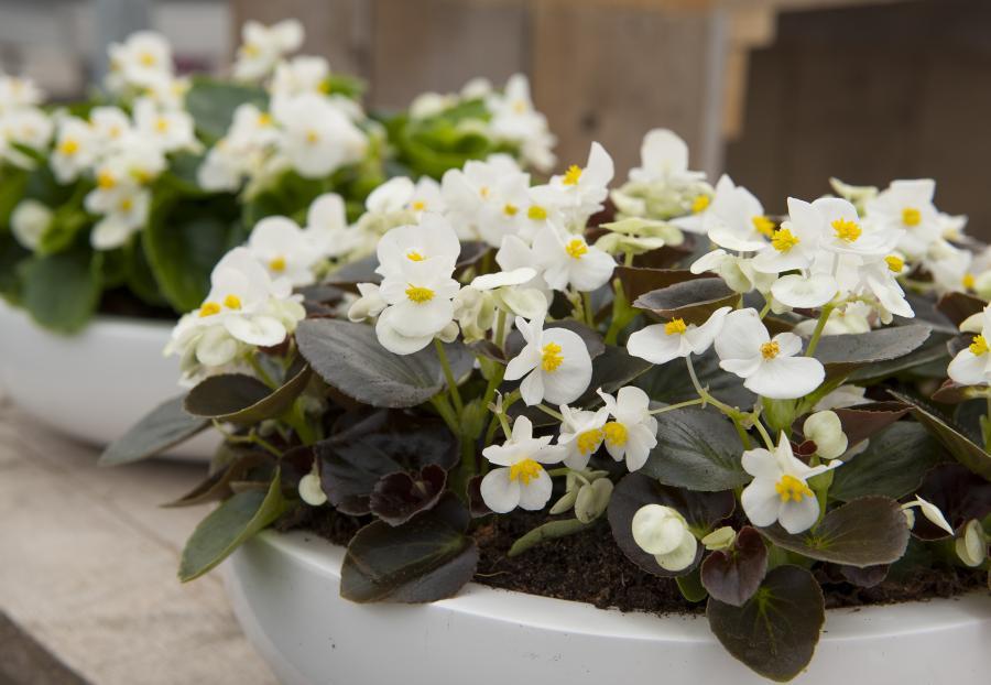 BegoniaSenator white imp