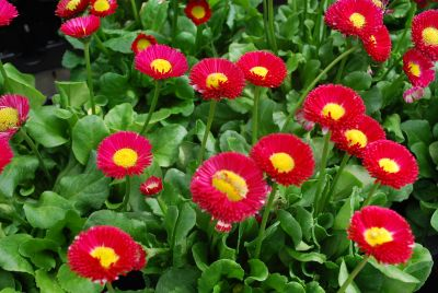 Bellis Galaxy Red