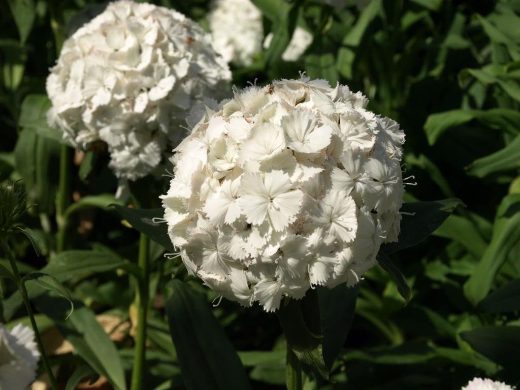 Dianthus Bianco Poggio