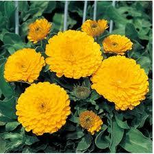 Calendula Zen Yellow
