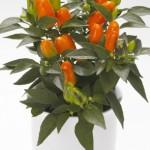Capsicum Karneval Orange