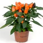 Capsicum Tango Deep Orange