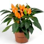 Capsicum Tango Light Orange