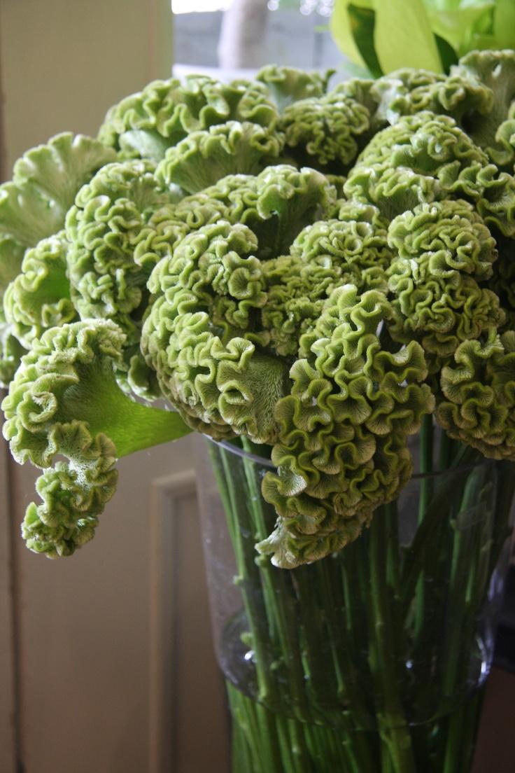 Celosia Spring Green