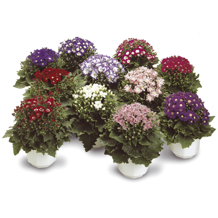 Cineraria Star Wars Mix