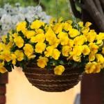 CoolWavePansies-Yellow-NGB