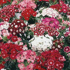 Dianthus Hollandia Mix
