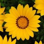 gazania new day yellow