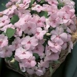 Impatiens Accent Blush Pink