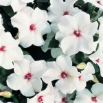 Impatiens Accent Bright Eye