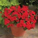 Impatiens Accent Red