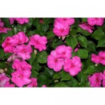 Impatiens Accent Rose