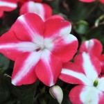 Impatiens Accent Star Red