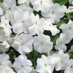 Impatiens Accent White