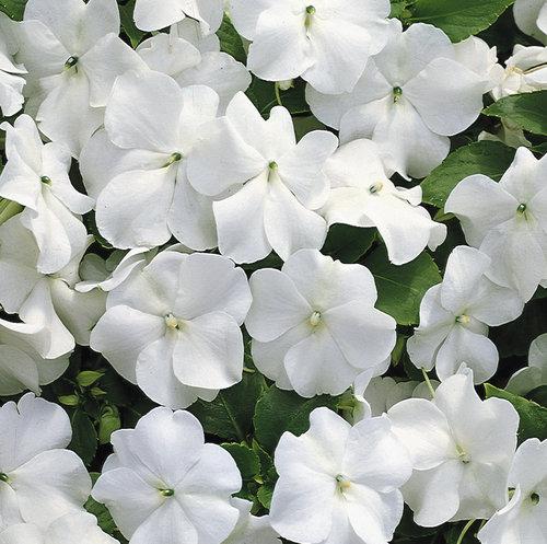 A.B.R. - Ornamental Young Plants White Impatiens Flowers