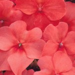 Impatiens Accent Salmon