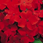Impatiens Accent Scarlet