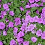 Impatiens Accent Lilac