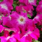 Petunia Limbo Rose Morn