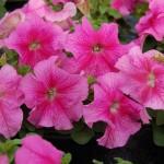 Petunia Limbo Rose Veined