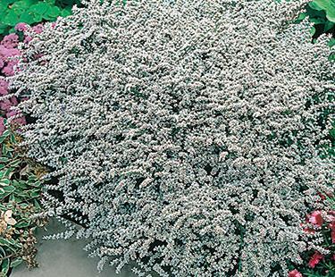 Limonium Tataricum White