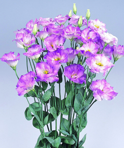 Lisianthus Ceremony Blue Flash