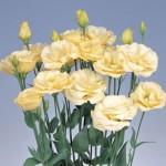 Lisianthus Excalibur Yellow