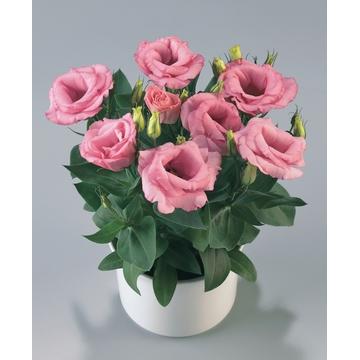 Lisianthus Rosie Pink