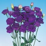 lisianthus rosita 3 blue