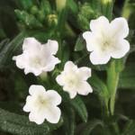 lithodora white