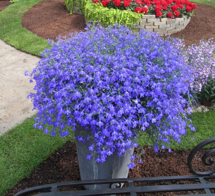 Lobelia Hot Night Blue