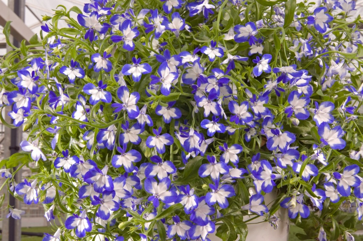 Lobelia Star Super