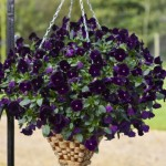 Pansy Freefall Deep Violet