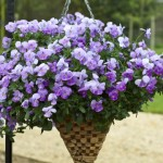 Pansy Freefall Lavender