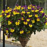 Pansy Freefall Purple Wing