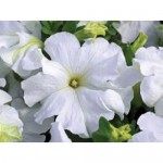 Petunia Ultra Fresh White