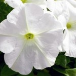 Petunia Ultra White