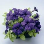 Petunia Ultra Blue
