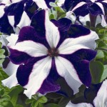 Petunia Ultra Blue Star
