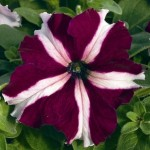Petunia Ultra Crimson Star
