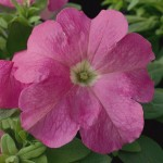 Petunia Ultra Pink