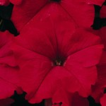 Petunia Ultra Red