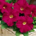 Petunia Ultra Rose
